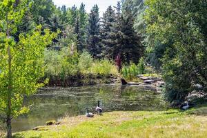 canards dans un étang photo