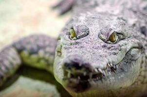 Tête de crocodile avec bouche à pleines dents et yeux jaunes se bouchent photo