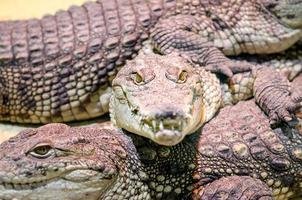 Plusieurs crocodiles alligator, reptiles carnivores dangereux se bouchent photo