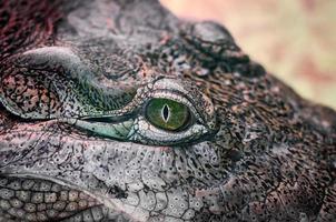 Tête de crocodile yeux verts jaunes isolés gros plan sur fond jaune photo