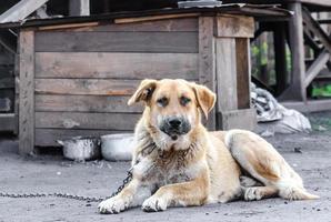 gros chien enchaîné se trouve à côté d'un stand en bois photo