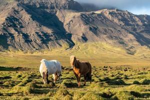Couple de chevaux islandais paissant dans un champ rocheux en Islande photo