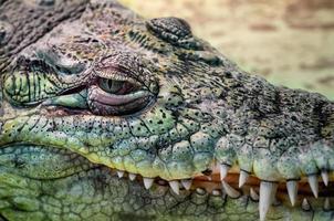 Tête de crocodile avec bouche à pleines dents et oeil vert gros plan sur fond jaune photo