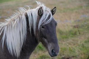 Portrait d'un cheval islandais brun photo
