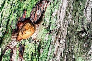 fond en bois de tronc d'arbre d'érable avec de la mousse verte photo