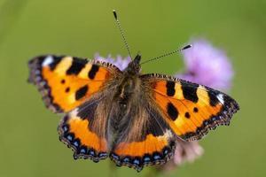Vue détaillée d'un petit papillon en écaille de tortue photo