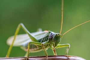 gros plan, de, a, cricket photo