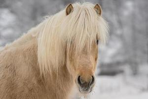 Cheval islandais de couleur palomino photo