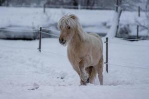 Cheval islandais de couleur palomino au trot photo
