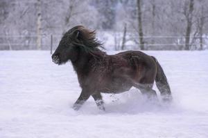 Cheval islandais sombre au trot dans la neige profonde photo