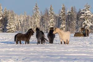 Groupe de chevaux islandais dans la neige photo
