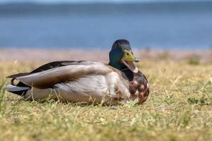 Canard colvert mâle à tête bleu-vert photo