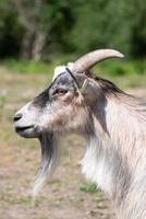 portrait de côté d'une chèvre mâle photo