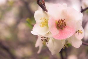 Gros plan d'une chaenomeles japonica rose, ou le coing japonais ou le coing de maule photo
