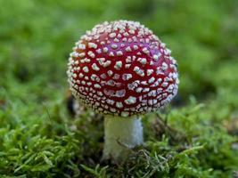 Gros plan d'un champignon agaric mouche amanita muscaria photo
