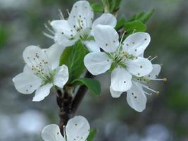 Fleur de prunellier blanc, Prunus spinosa, sur une branche d'arbre photo