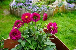 Dahlias rouges dans un parterre de fleurs dans un jardin photo