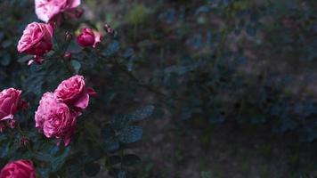 arbuste de roses étonnantes photo