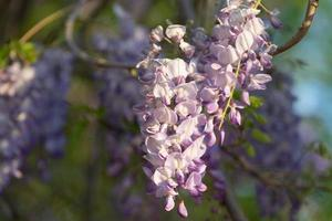 fleurs de glycine dans la douce lumière du soir du coucher du soleil photo