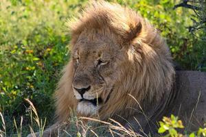 Lion africain mâle dans le parc national d'Etosha photo