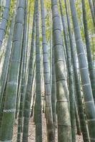 forêt de bambous bouchent photo