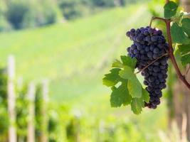 raisins dans les collines en automne photo
