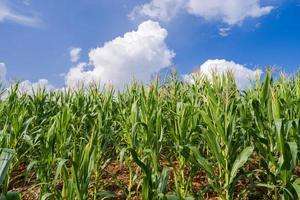 champs de maïs sous le ciel bleu photo