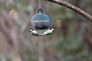 Mésange oiseau avec un ventre jaune, deux alimentation photo