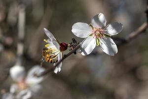 abeille sur une fleur d'amandier photo