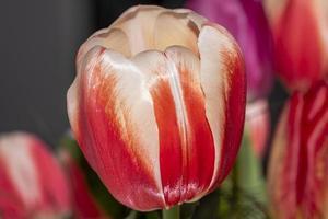 tulipe rouge sur le terrain photo
