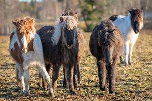 Groupe de poulains cheval islandais mignon s'approchant de la caméra photo