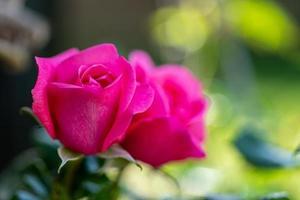 gros plan de deux roses roses photo