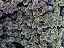 plante de feuille de fougère pourpre pour le fond photo