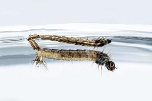 des larves hargneuses sont suspendues à la surface de l'eau photo