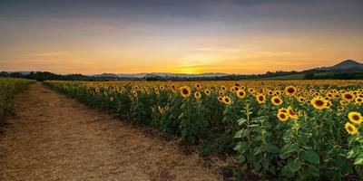 plantes de tournesol en fleurs dans la campagne au coucher du soleil photo