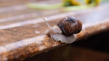 escargot rampant sur un banc humide photo