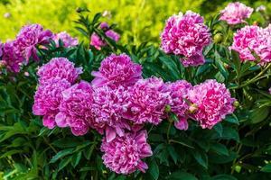 fleurs roses dans un jardin photo