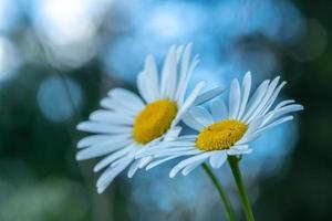 Deux fleurs de marguerite avec fond bleu doux photo
