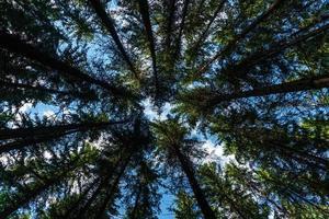 Canopée de sapin contre un ciel bleu d'été photo