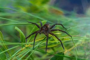 grande araignée de radeau gardant son nid photo
