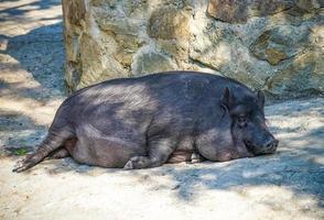 Portrait d'un cochon dormant sur le sol par une journée ensoleillée photo