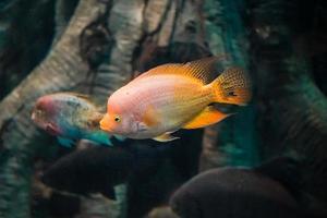poissons de mer dans un grand aquarium d'algues et de poissons d'autres espèces photo
