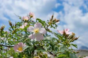 fleurs roses roses sur un buisson vert. photo