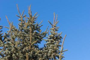 fond naturel avec des branches d'épinette contre le ciel bleu photo
