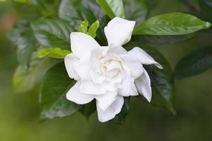 Fleur de camélia blanc sur fond vert photo
