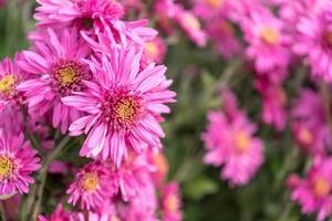 fleurs de chrysanthème rose sur fond vert flou. russie, soch photo