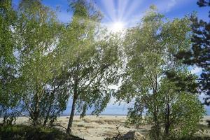 Bouleau debout au milieu des dunes de la broche de Courlande Russie photo