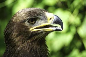 un grand oiseau de proie sur un fond naturel vert. photo