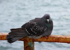 Portrait d'un pigeon contre la surface de l'eau photo