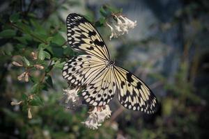 un gros papillon jaune assis sur un buisson photo